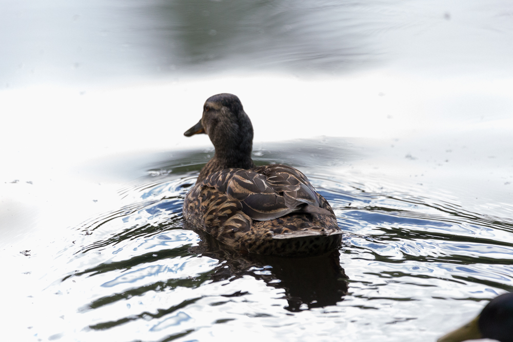 Duck of sorts