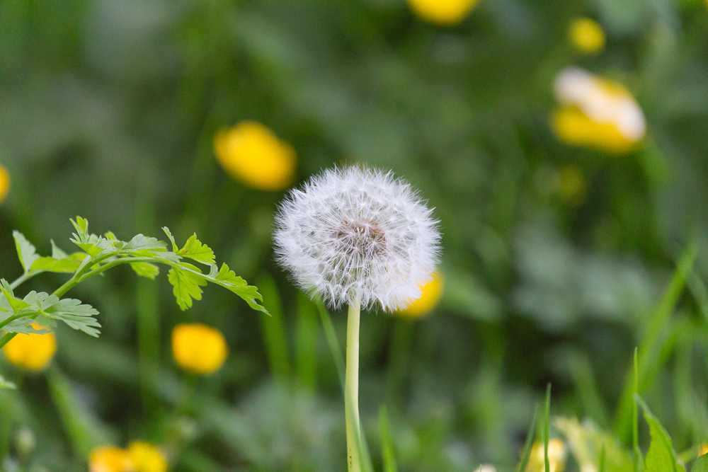 Dandelion at 600mm