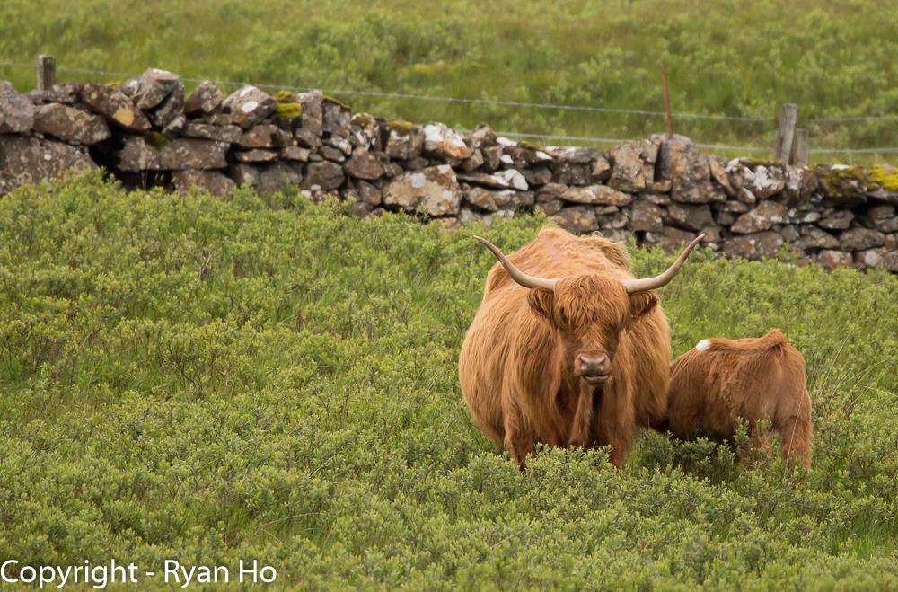 Highland Moo Coo